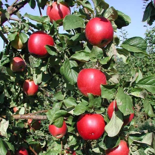 Яблоня ола