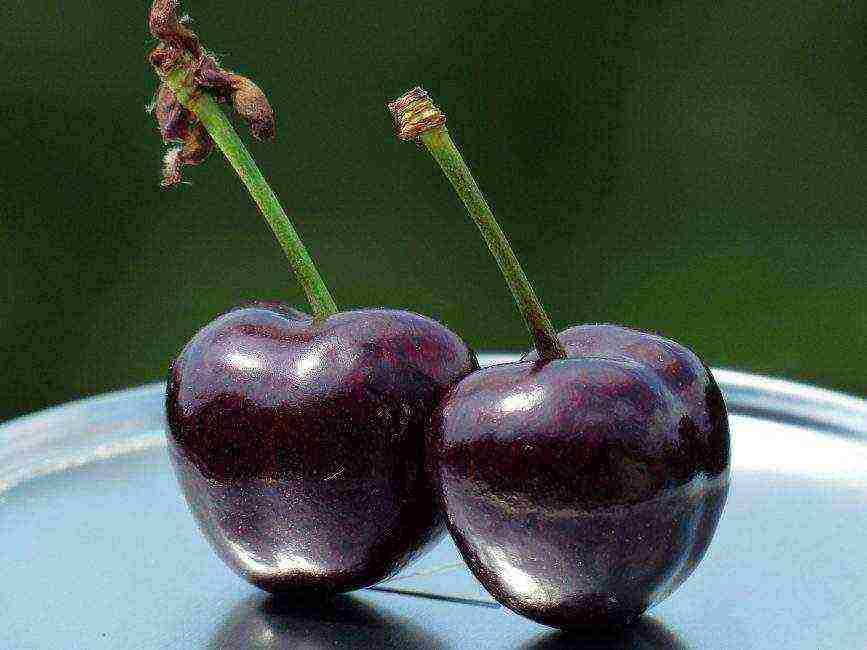 Урожайные и зимостойкие сорта черешни для средней полосы