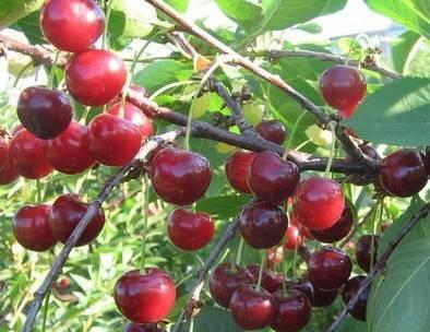 Вишнёвый сад: сорта и виды вишни