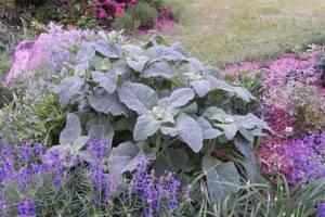 Выращивание шалфея в домашних условиях