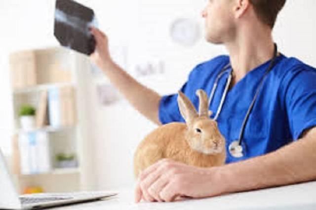 Болезни ушей у кроликов и их лечение. у кролика в ушах коросты — чем лечить