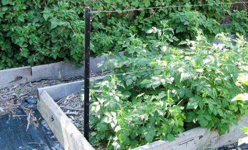 Как правильно посадить малину летом: условия, способы и схемы