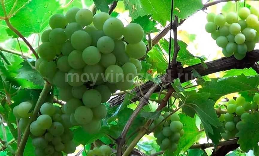 О винограде академик: описание и характеристики сорта, посадка и уход
