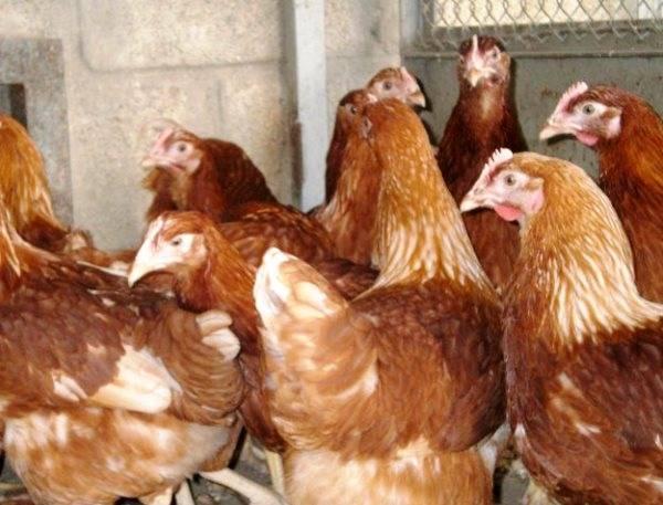Куры-несушки (29 фото): сколько высиживают яйца? советы для начинающих по содержанию и уходу за несушками в домашних условиях. лучшие породы несушек, отзывы