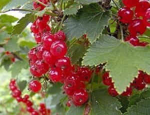 Правила осенней посадки красной и черной смородины
