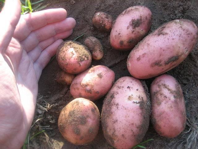Картофель скарлет: описание сорта, отзывы огородников