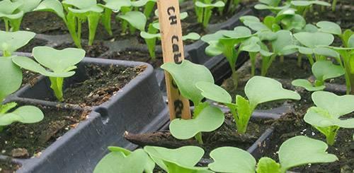 Пекинская капуста: выращивание в открытом грунте, фото, посадка и уход, посев на рассаду