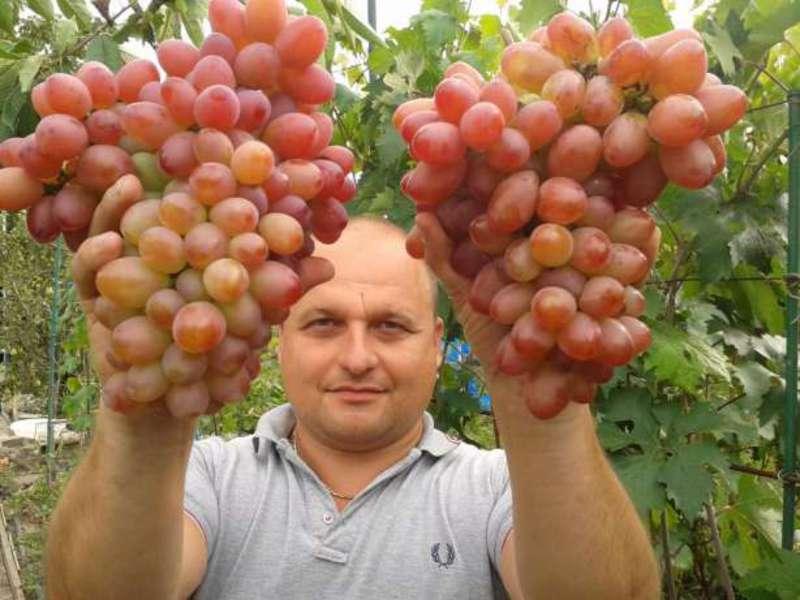 Виноград софия