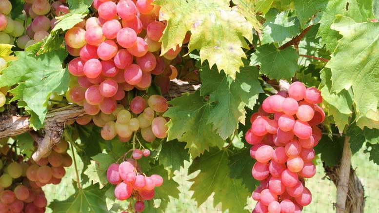 Чем подкормить весной виноград