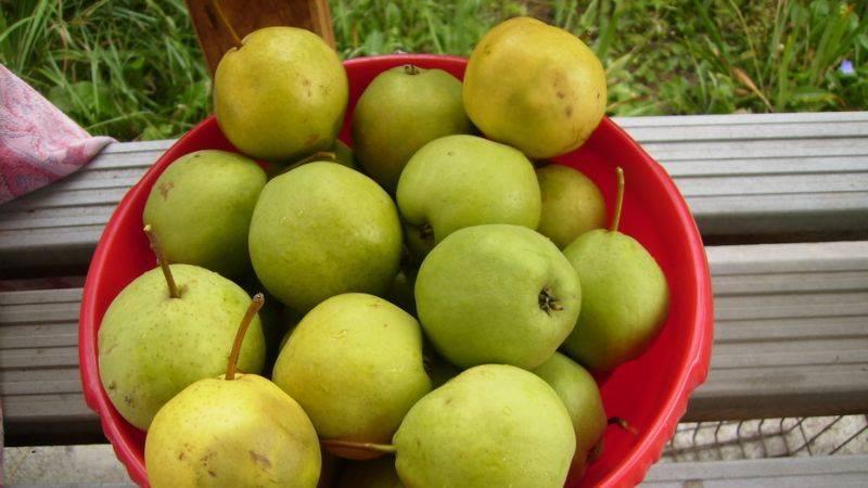 Опыление абрикоса: естественное, ручное, особенности, технология, лучшие самоплодные сорта, опылители для самобесплодных