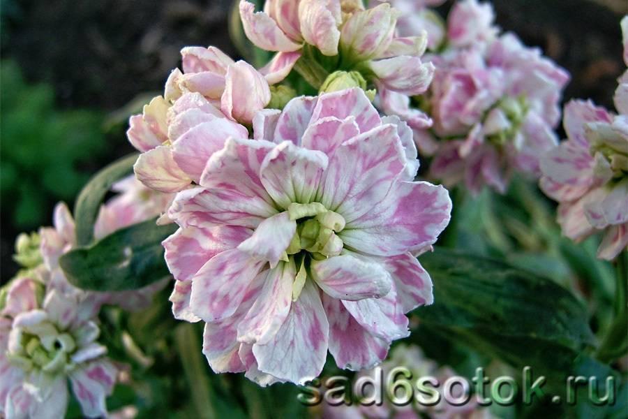 Маттиола: описание цветка и правила ухода