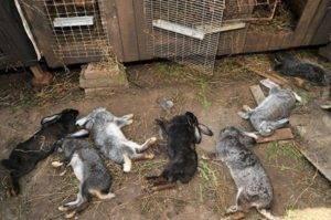 Почему умирают кролики без видимых причин: основные причины и способы их решения. наиболее частые причины гибели крольчат в гнезде почему дохнут кролики летом молодняк что делать