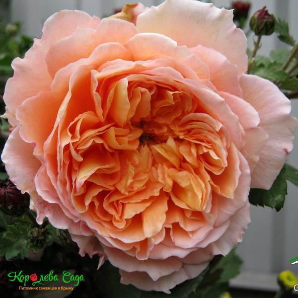 Роза «полька»: лучшие советы по выращиванию от опытных садоводов
