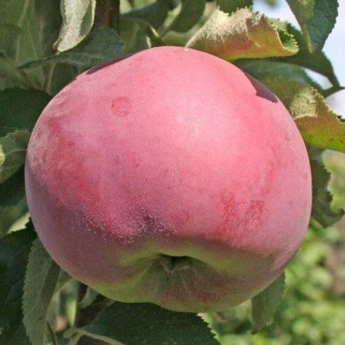 Яблоня колоновидная: посадка и уход. сорта колоновидных яблонь.