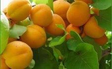 Чем подкормить абрикос чтобы не осыпалась завязь: как правильно удобрять и когда лучше подкармливать абрикосовое дерево (видео советы + 85 фото)