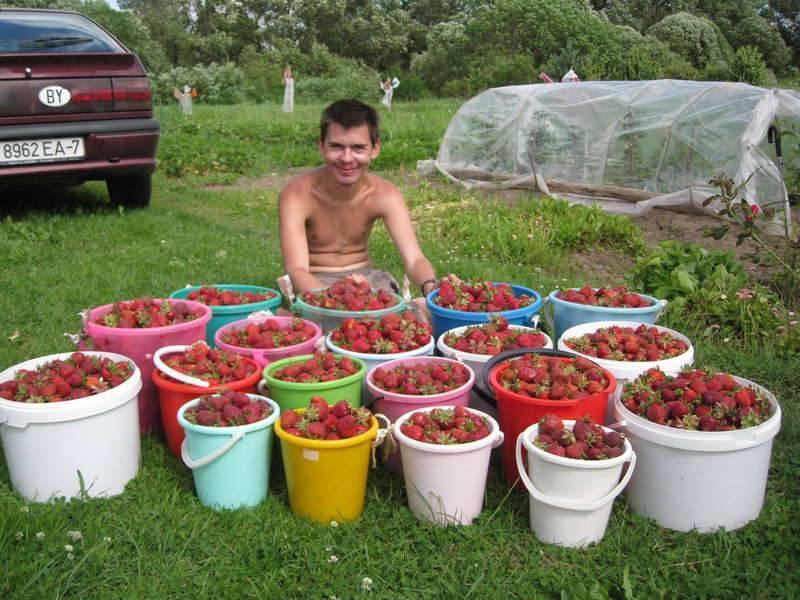 Клубника гигантелла максим: уход и выращивание