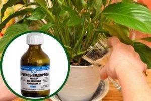 Перекись водорода для полива рассады при выращивании