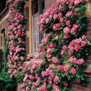 10 лучших крупных роз-клаймеров