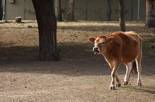 Абсцесс у коровы: история болезни