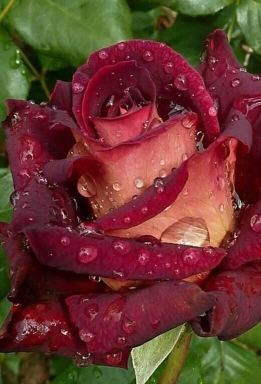 10 самых красивых бордовых роз с названиями, описаниями и фото