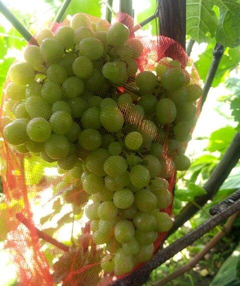 Борная кислота для винограда