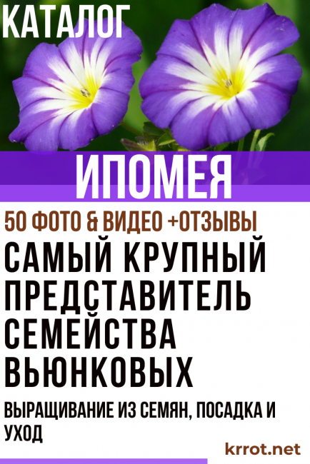Цветок ипомея: многолетние садовые цветы на фото