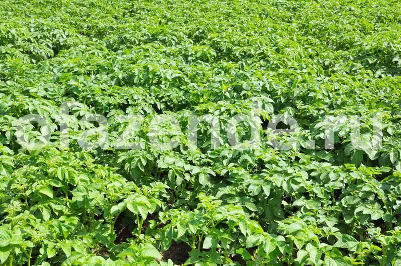 Технология выращивания высокоурожайного картофеля разными способами