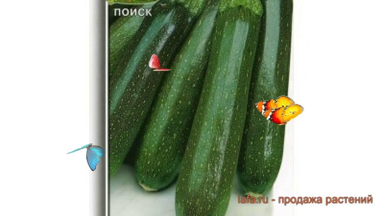 Все о сорте кабачка цуккини Аэронавт: посадка и уход, особенности выращивания
