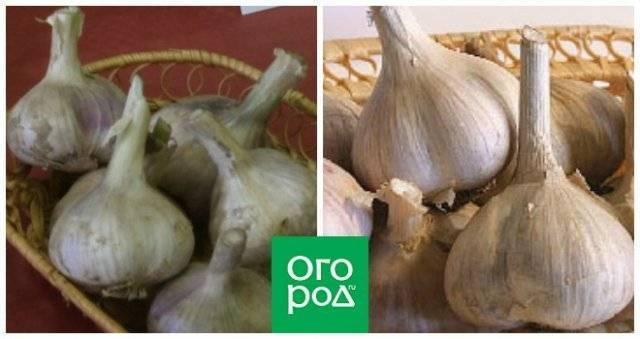 Секреты выращивания крупного сочного чеснока в открытом грунте: обзор лучших сортов с описанием и фото. как правильно вырастить яровой и озимый чеснок | inwomen