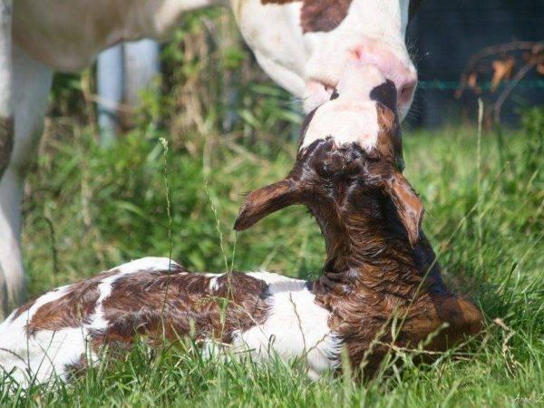 Корова не встает после отела: что делать, причины, лечение, профилактика | ветеринарная служба владимирской области