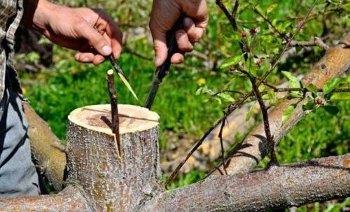 Советы по посадке яблони с закрытой корневой системой летом и не только