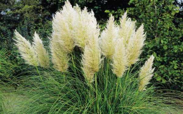 Кортадерия – декоративная трава из пампасов