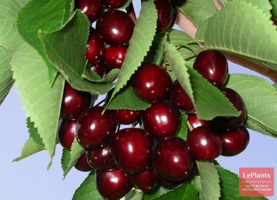 Особенности морозостойких сортов вишни