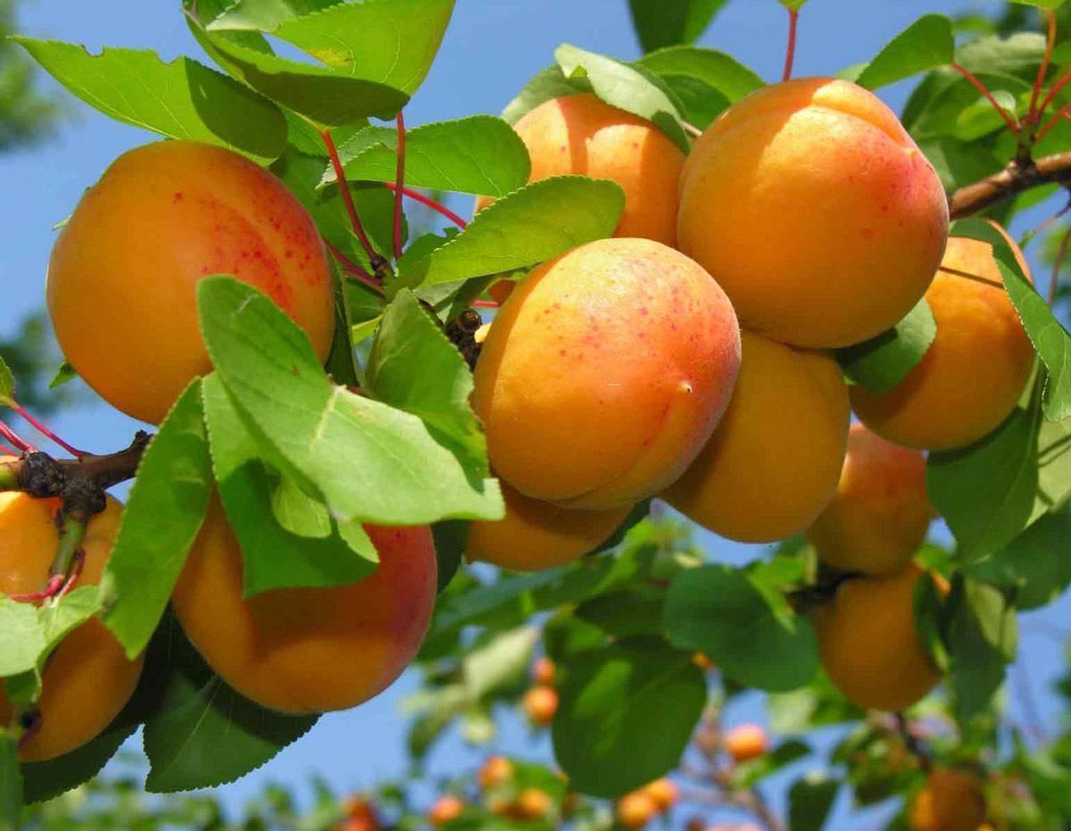 Как вырастить новое дерево из косточки абрикоса – инструкция с фотографиями