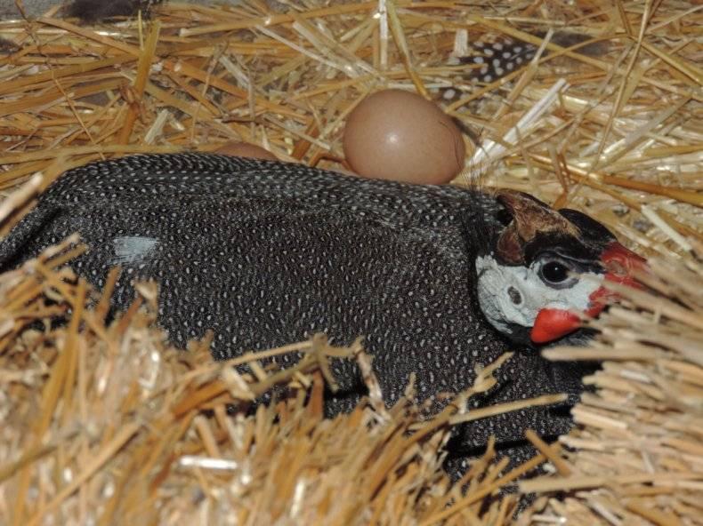 Яйца цесарки: польза и вред, калорийность, описание