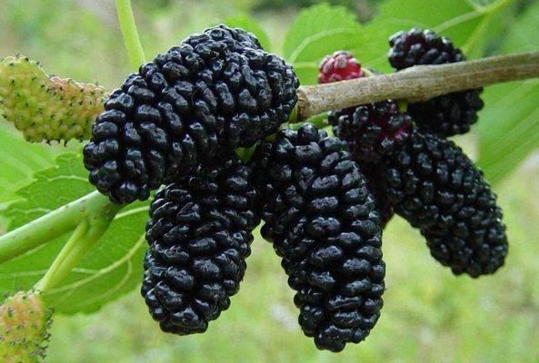Шелковица: выращивание и уход в средней полосе
