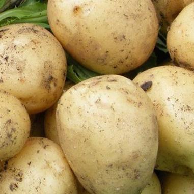 Характеристика картофеля сорта вега