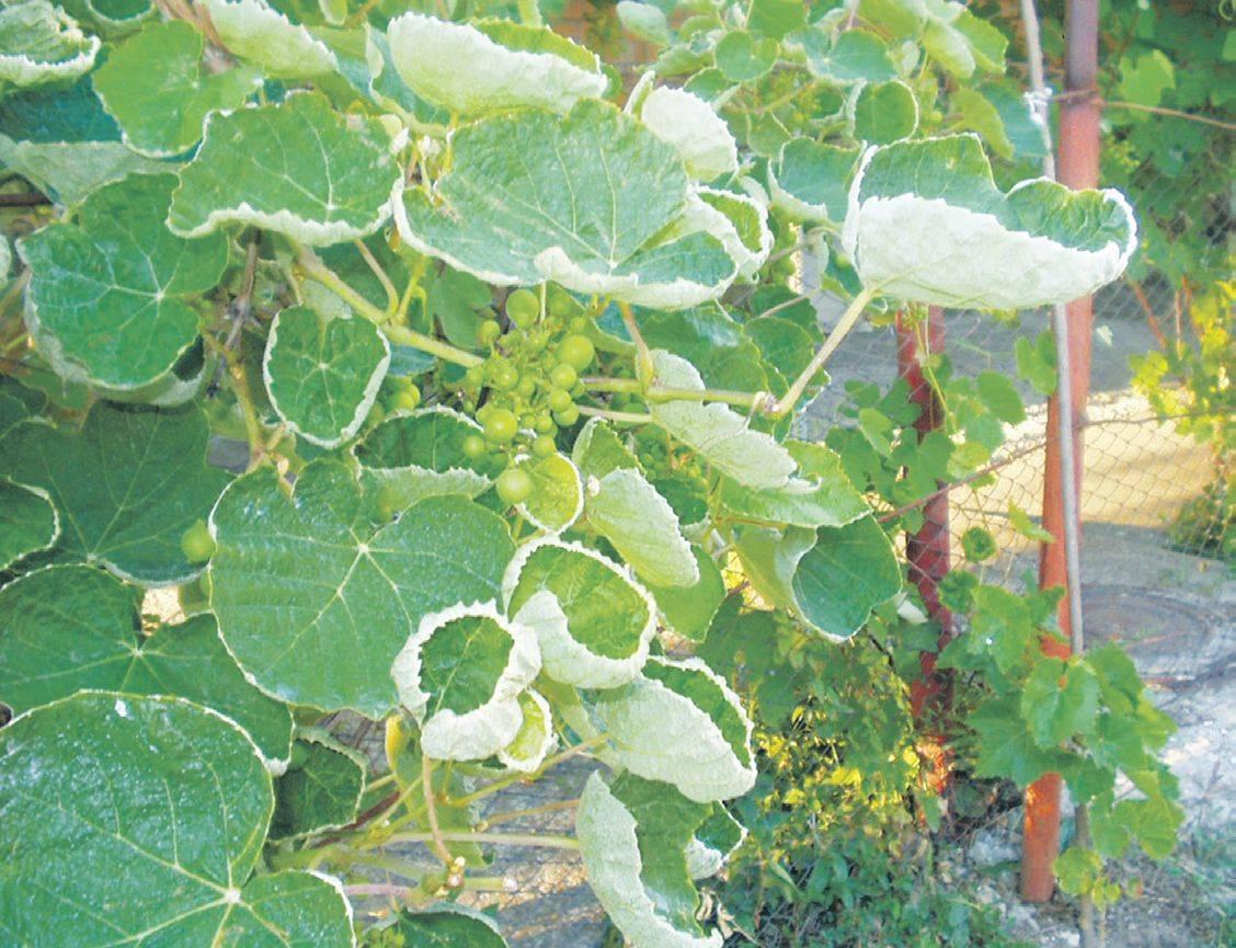 Почему у рассады огурцов сохнут края листьев или они скручиваются и желтеют? что с этим делать?