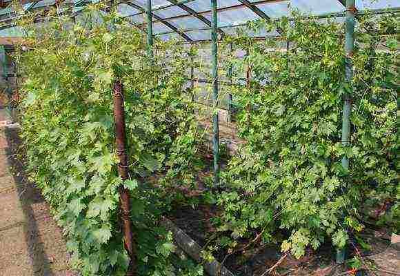 Выращивание винограда в Ленинградской области: посадка и уход, выбор сортов