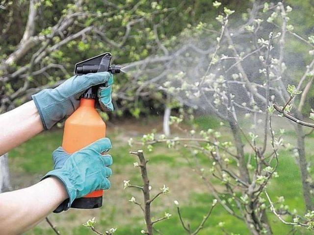 Как лечить ржавчину на листьях груши, яблони, смородины, клубники, огурцов.