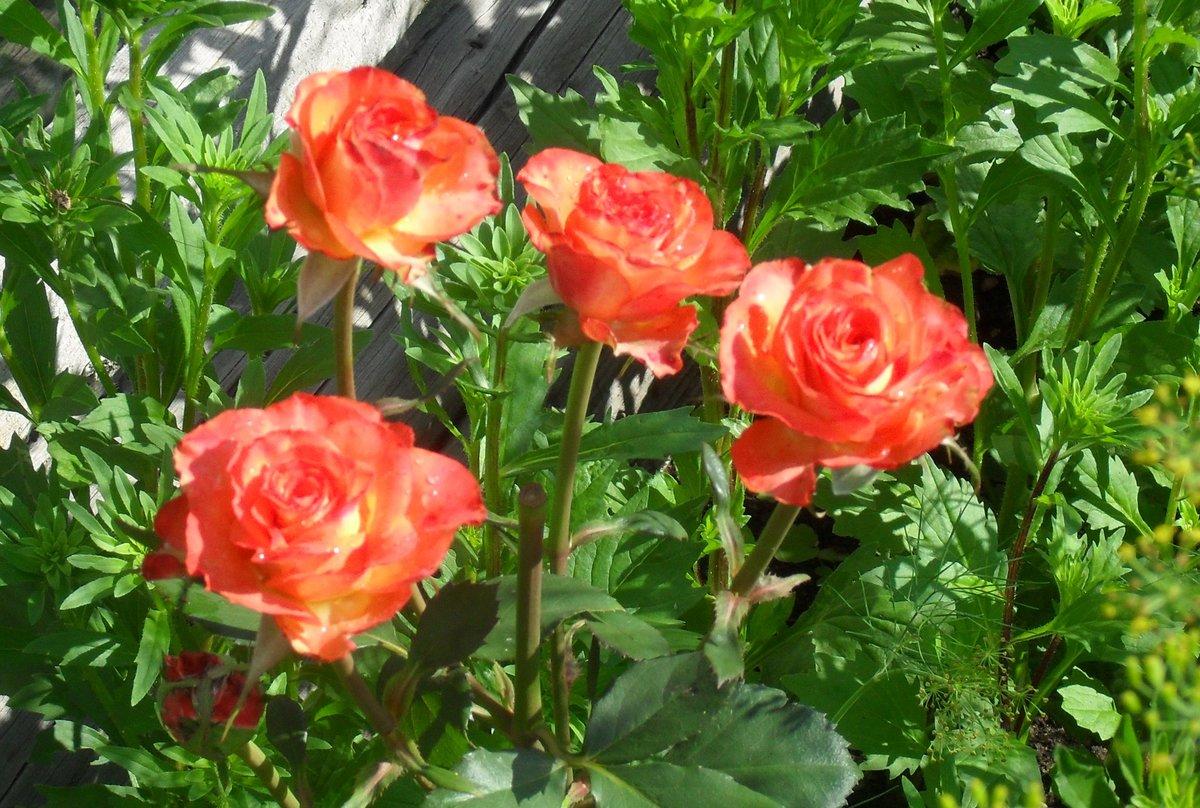 Почему не цветут розы: 9 самых частых причин