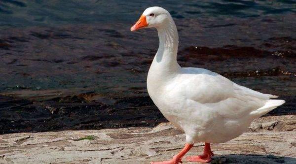 Все, что нужно знать о гусях