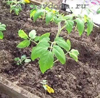 Подкормка томатов в теплице – какие удобрения и когда использовать?
