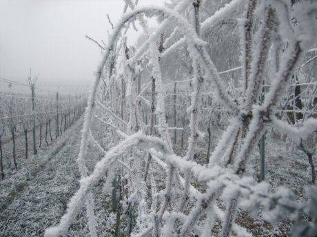 Как правильно укрыть виноград в теплице и исключить его засыхание?