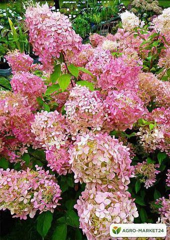Гортензия садовая — посадка и уход в открытом грунте