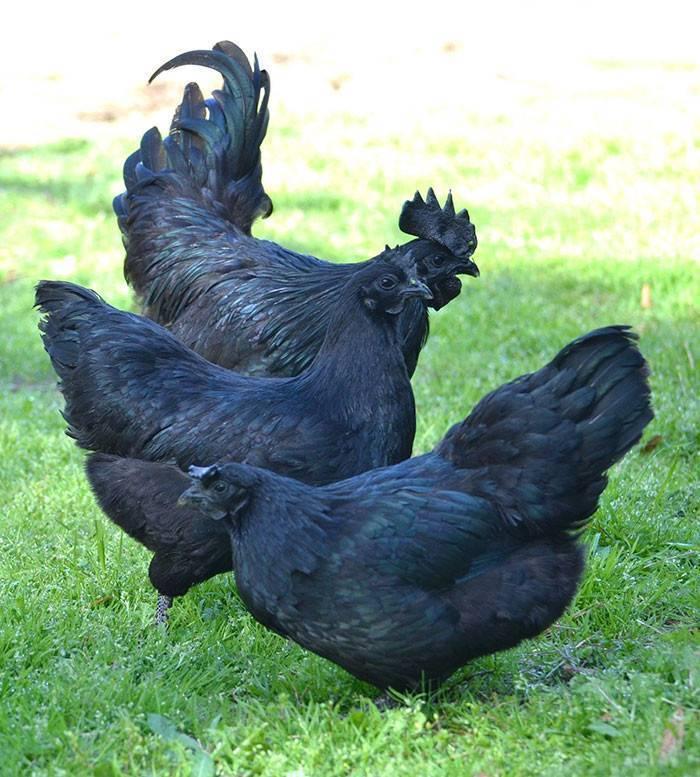 Породы черных кур: фото, названия, описание, характеристика