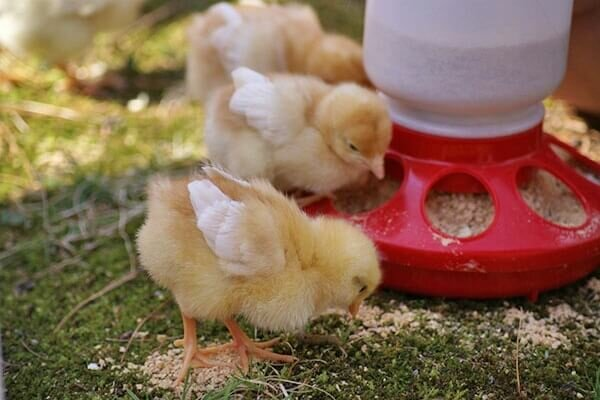 Уход за цыплятами и бройлерами в домашних условиях (как содержать, кормить)