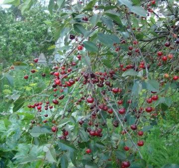 Плодовое дерево вишня и его виды на фото