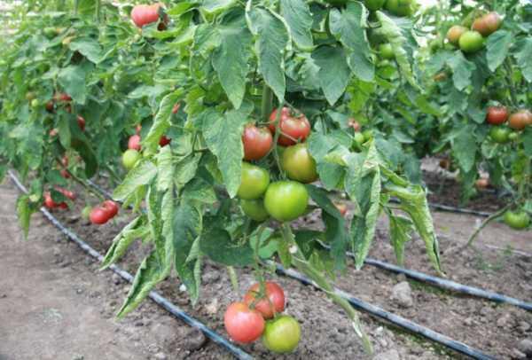 Виды фосфорных удобрений для томатов. инструкция по применению