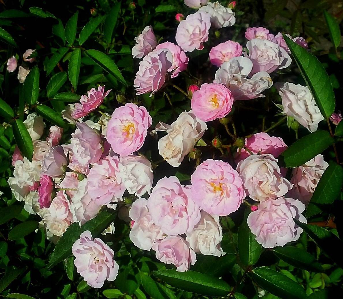 Мускусные розы ленса.